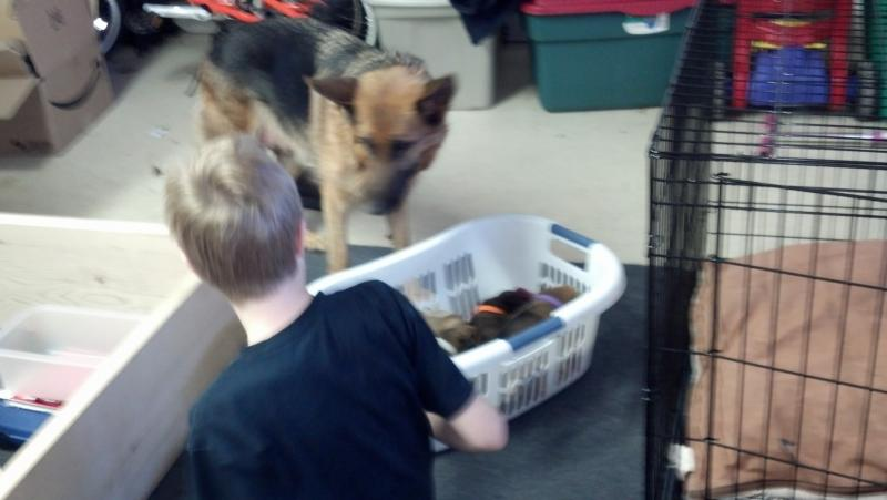 New Subj Line: CL puppy having puppies - help needed from experienced pup raisers-2013-01-06_14-00-52_543.jpg