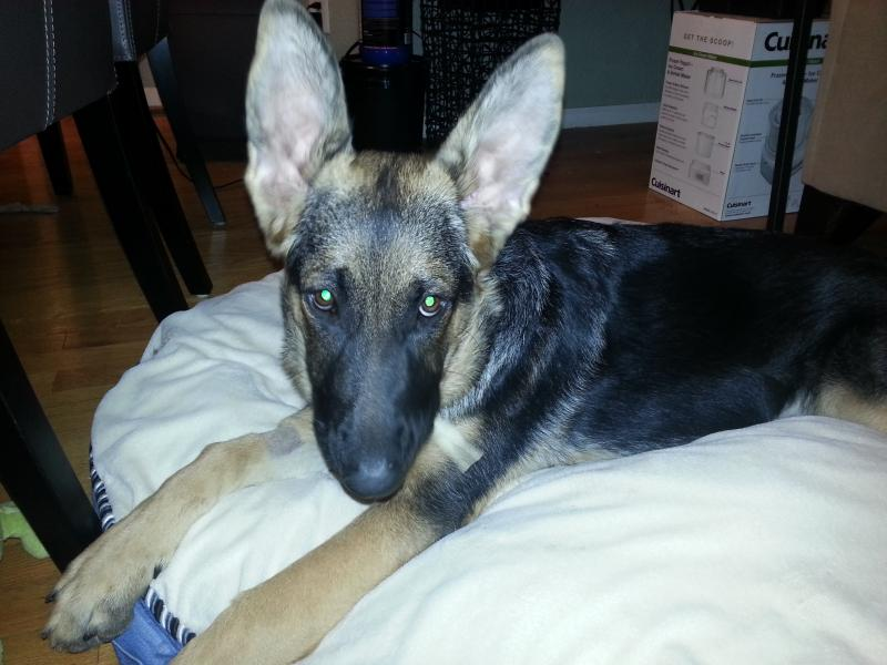 6 month old ears still not up-20130816_230231.jpg