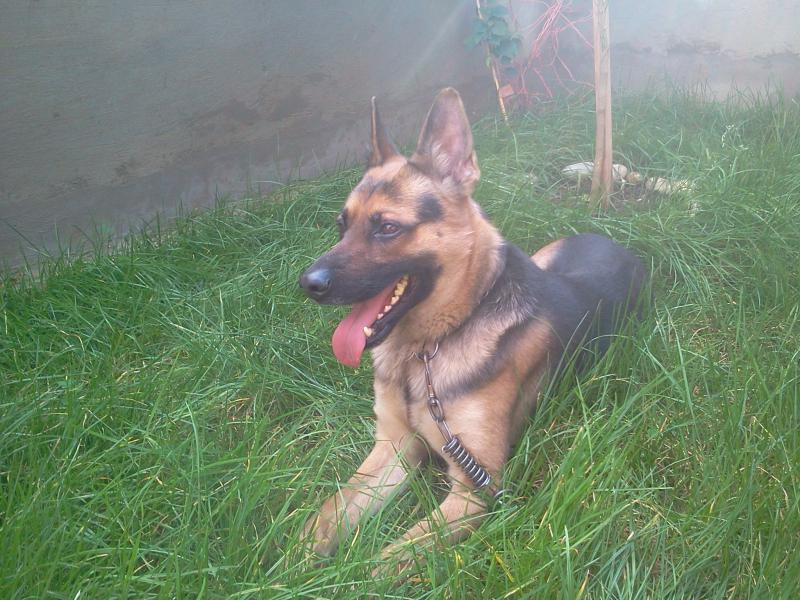 New German Shepherd : Rocky (with pictures)-2014-02-02-14.49.20.jpg