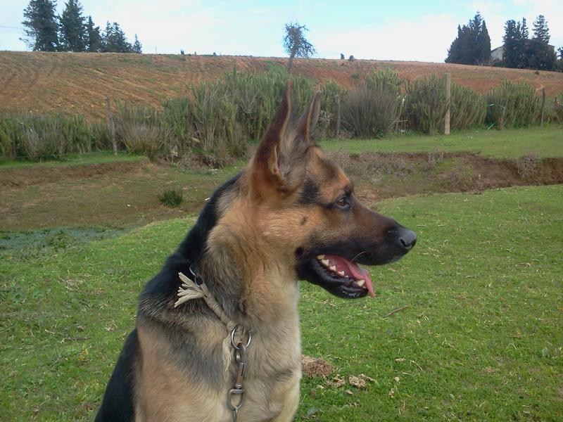 New German Shepherd : Rocky (with pictures)-2014-02-03-13.21.40.jpg