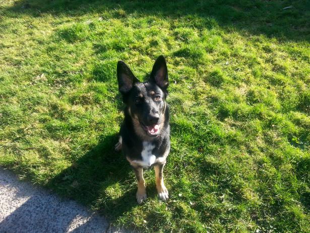 Bi Color W White Chest Patch German Shepherd Dog Forums