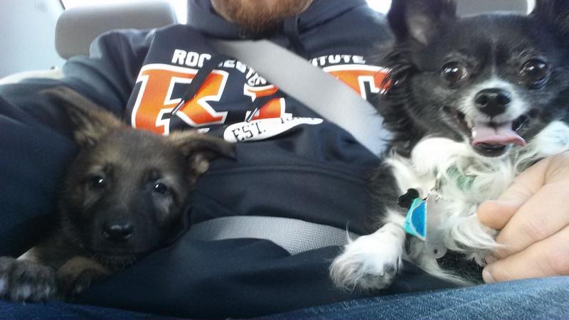 Sable GSD puppy- Jackson-20140221_154344.jpg