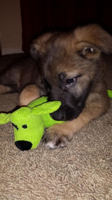 Sable GSD puppy- Jackson-20140301_065912.jpg
