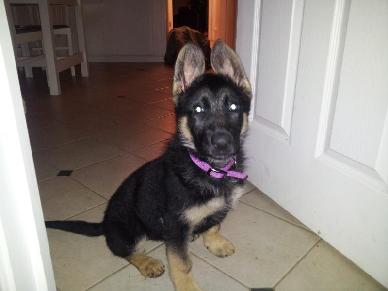 first time GSD owner in seattle area-20140406_000251.jpg