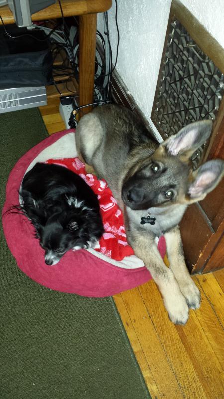 Sable GSD puppy- Jackson-20140406_165513.jpg