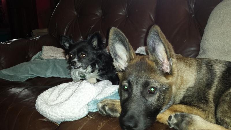Sable GSD puppy- Jackson-20140412_090416.jpg