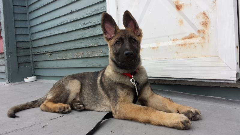 Sable GSD puppy- Jackson-20140412_162934.jpg