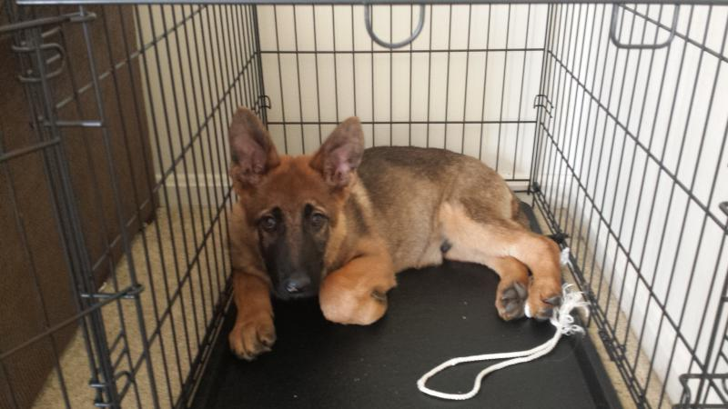 My 17 Week Old GSD-20140418_135214.jpg