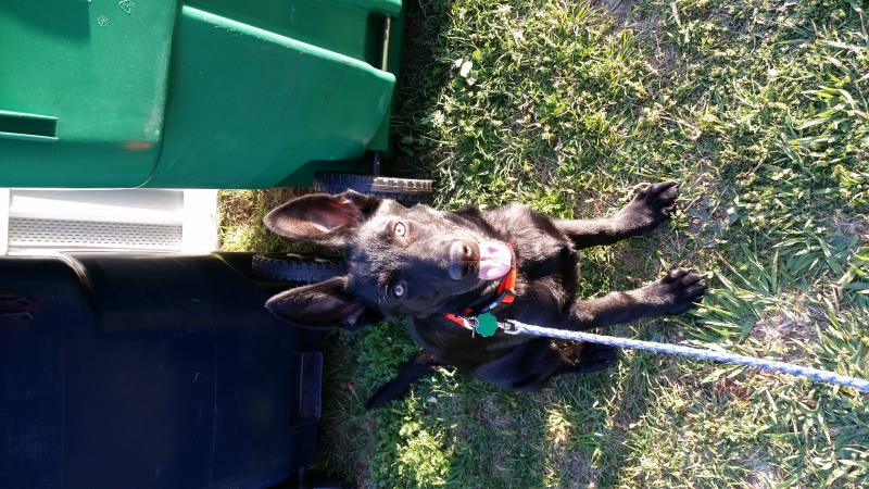 Shadow my 4 month old gsd saved my life-20140505_192155.jpg