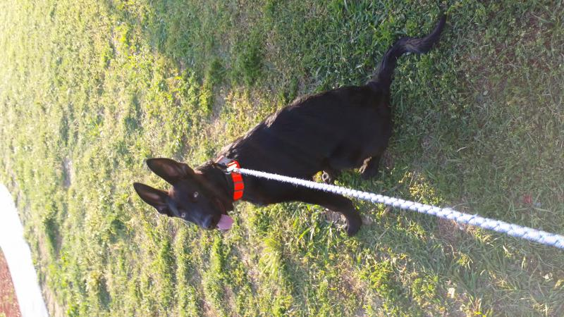 Shadow my 4 month old gsd saved my life-20140505_192228.jpg