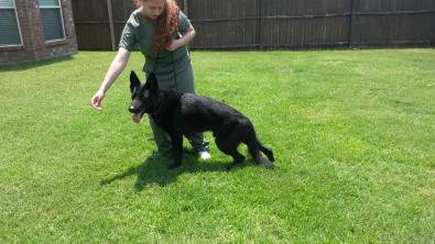 "Kodiak ""Kody"" - Solid Black AKC WL from Czech and German Lines-20140704_132139.jpg"