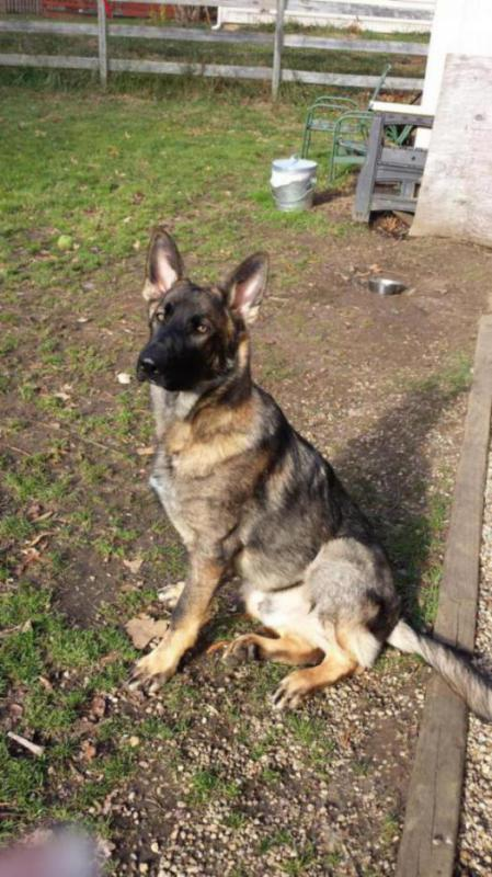 Lobo is 85 lbs, at 6 1/2 months!!!-20141129_133124_1417306778334.jpg