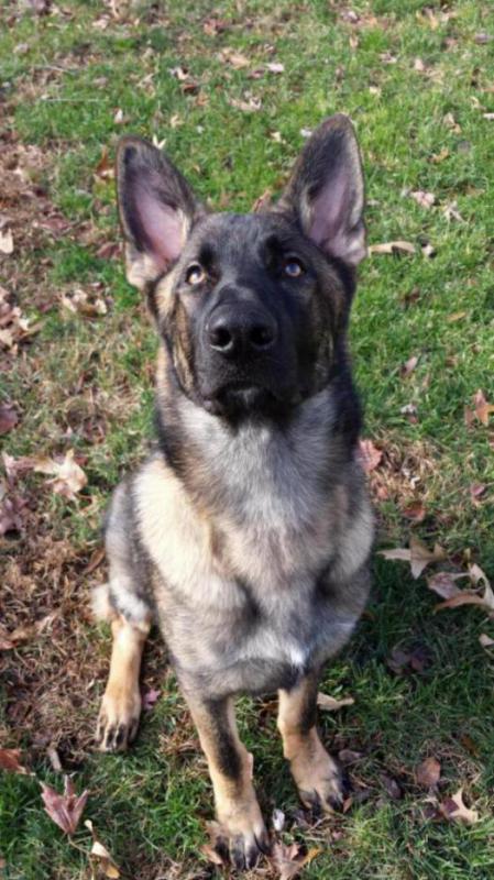 Lobo is 85 lbs, at 6 1/2 months!!!-20141129_133951_1417306282562.jpg