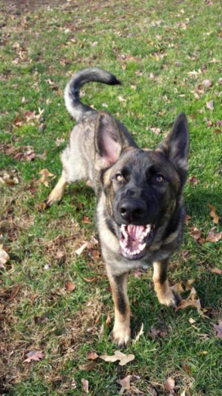 Lobo is 85 lbs, at 6 1/2 months!!!-20141129_134000_1417306736070.jpg
