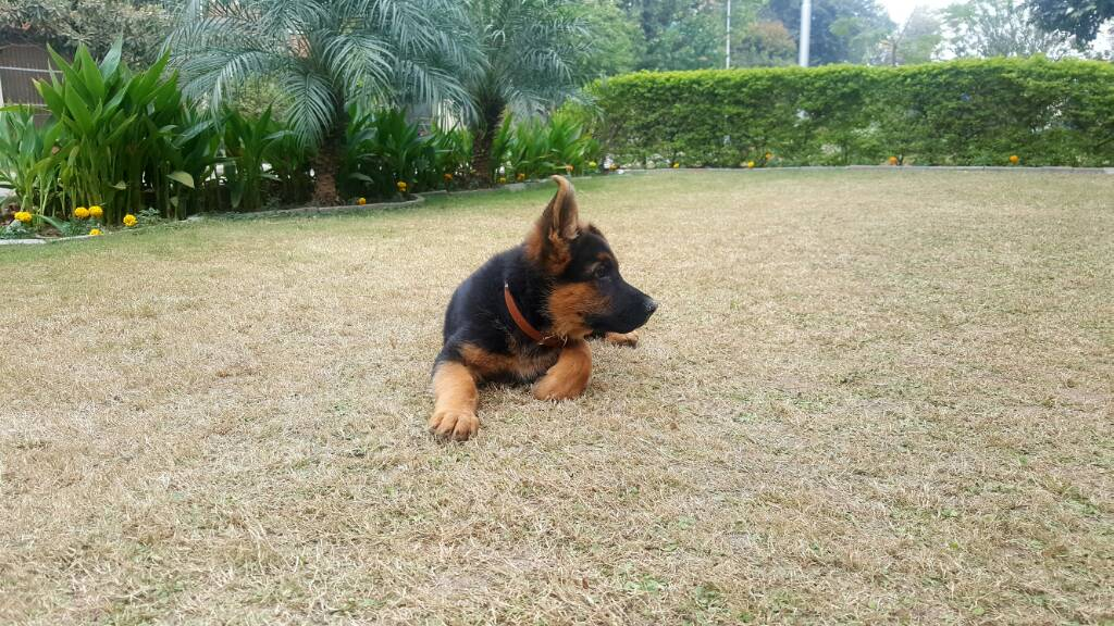 Ears standing of puppy-20161122_150159.jpg