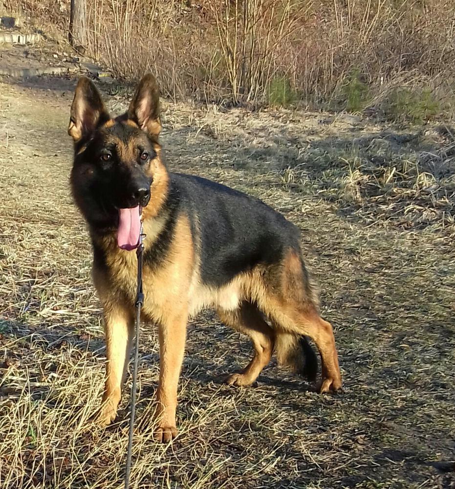 1 Year Old Male German Shepherd Dog Forums