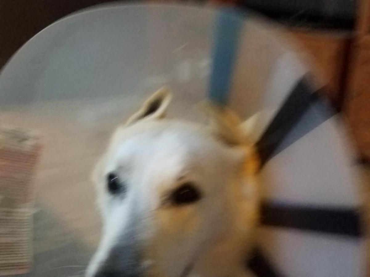 cone of shame and ears german shepherd dog forums