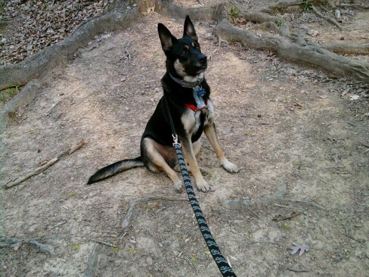 German Shepherd Wolf Mix for Pinterest
