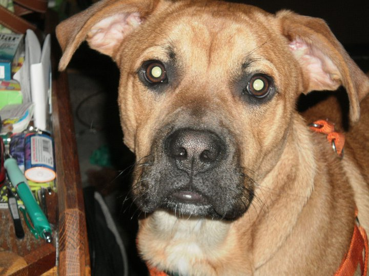 Black Mouth Cur mix?-216431_166999236690062_100001399610726_384240_4483217_n.jpg
