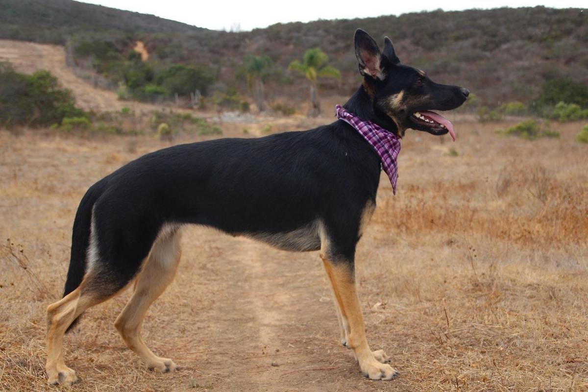 Height Growth Chart Page 63 German Shepherd Dog Forums