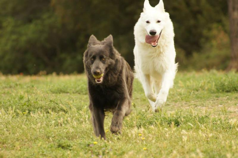 Blue gsd meets white gsd-3.jpg