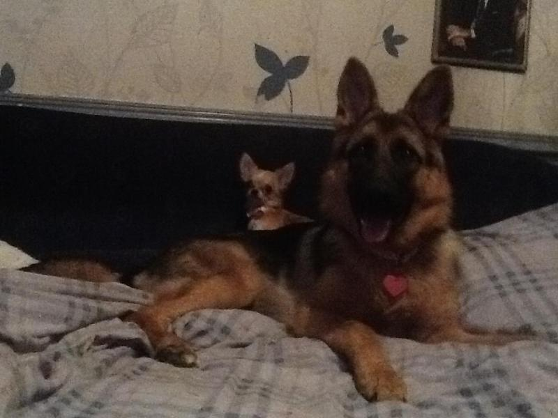 Lets see your GSD with other Breeds.-384530_3794185107705_67612561_n.jpg