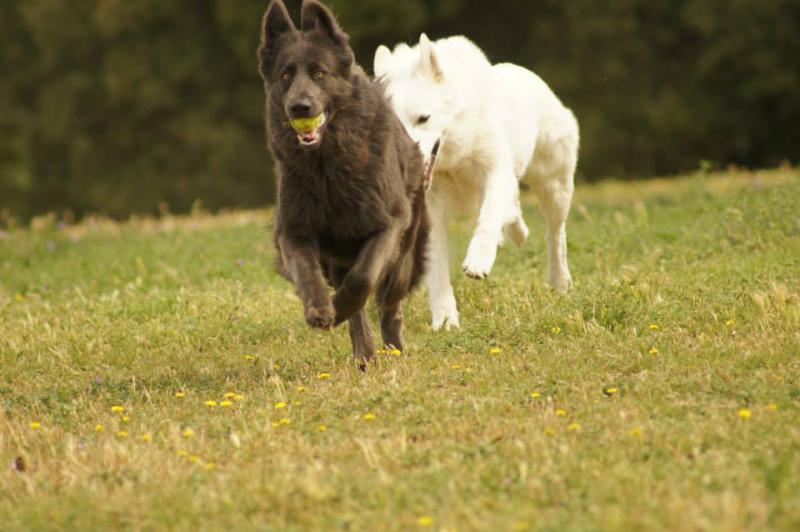 Blue gsd meets white gsd-4.jpg