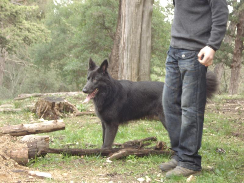 Sorry it took so long. Some updates of Enakai, our solid blue GSD.-4.jpg