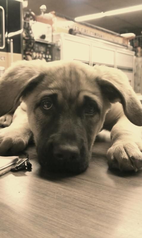 Callie Mae GSD/English Mastiff-4-months-old.jpg