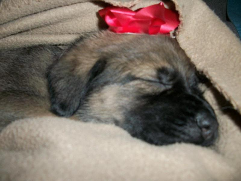 Callie Mae GSD/English Mastiff-4-weeks.jpg