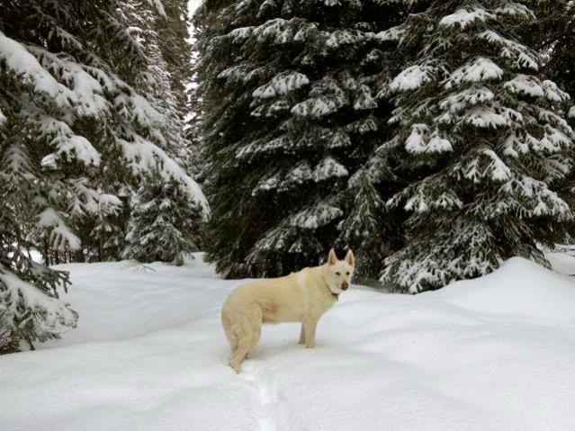 Lost White German Shepherd Oakridge,OR-403274_2940806913045_445582039_n.jpg