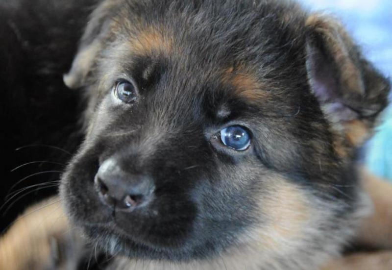 blue eye german shepherd puppy eye color german shepherd dog forums 5561