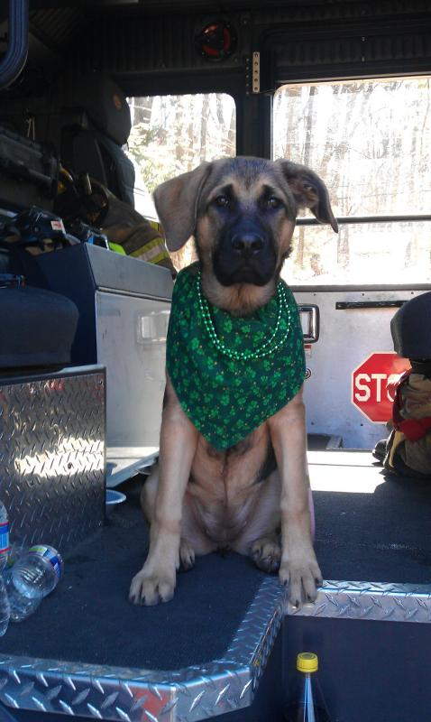 Callie Mae GSD/English Mastiff-5-months-old-st.-pats-day.jpg