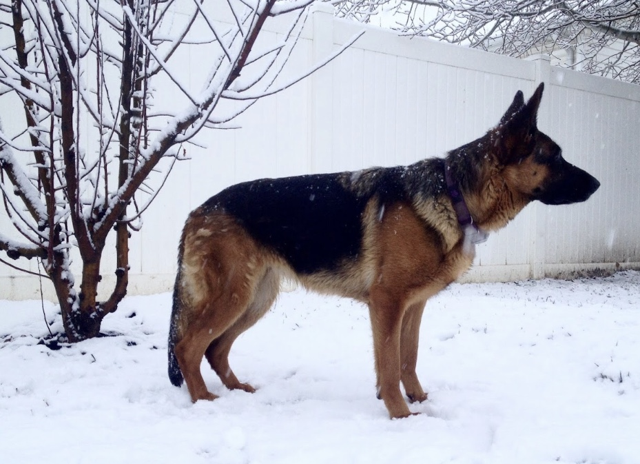 7 Weeks Pregnant And Not Showing German Shepherds Forum