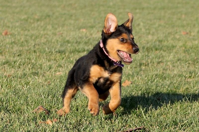 show me your black and tan dogs  puppies  - page 5