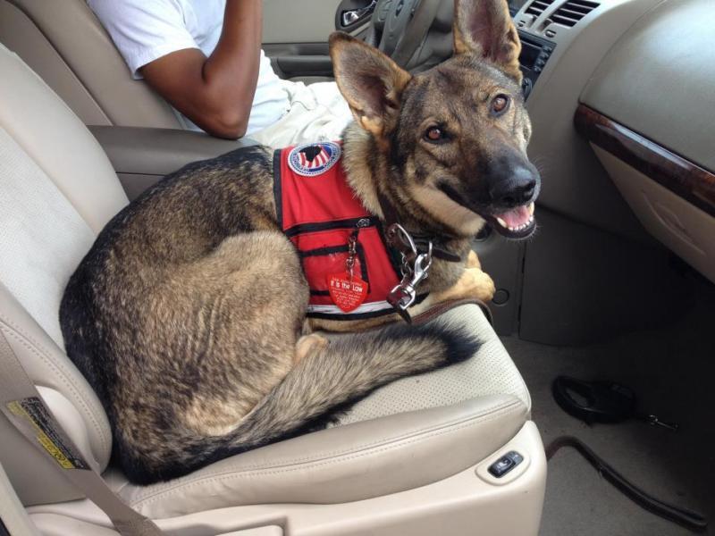 GSD Military PTSD Service Dog For Adoption-548102_10151891587905752_663621560_n.jpg