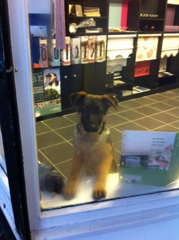 New Member from UK 15 week old GSD - vet advised slightly underweight at checkup-559354_10151332846034108_423003490_n.jpg