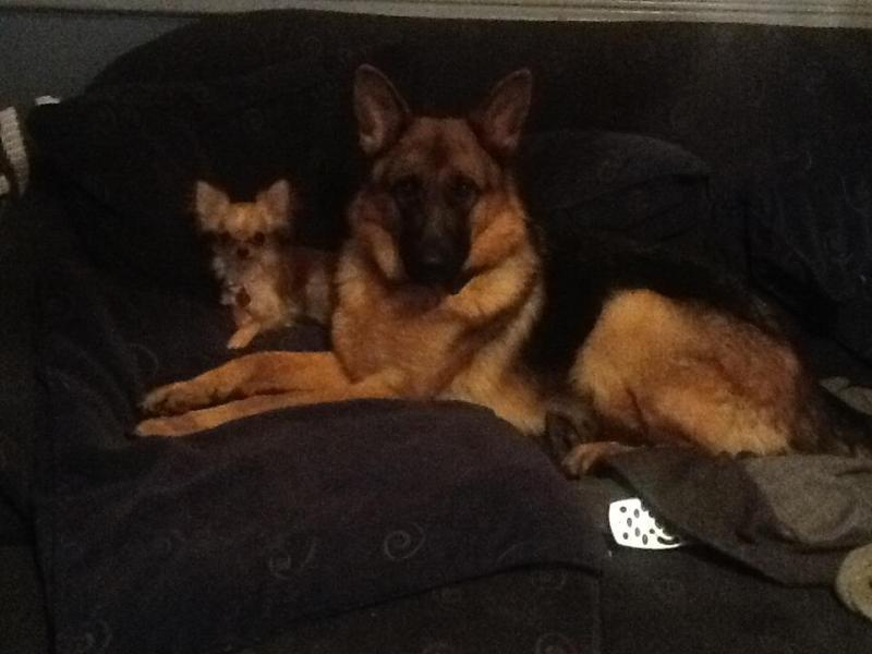 Lets see your GSD with other Breeds.-577909_4046325491057_118676329_n.jpg
