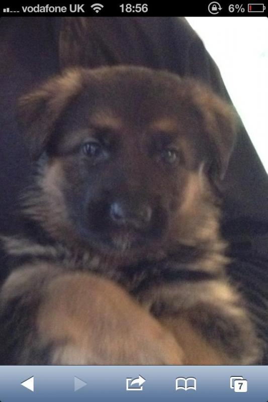 New Member from UK 15 week old GSD - vet advised slightly underweight at checkup-601645_10151329375859108_695707553_n.jpg