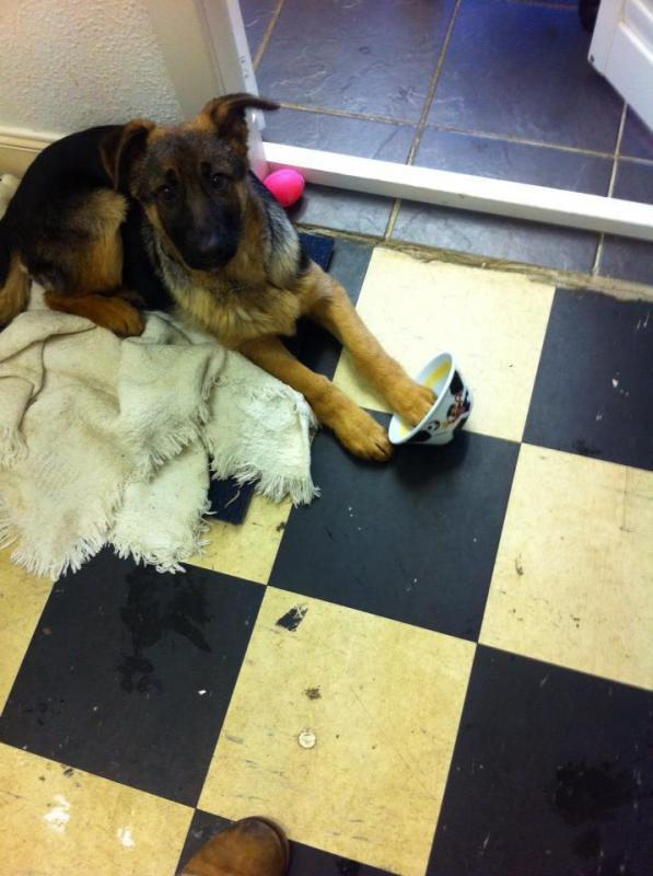 New Member from UK 15 week old GSD - vet advised slightly underweight at checkup-69465_10151332436694108_852725119_n.jpg