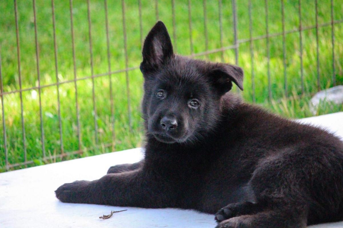 Pup comes home in one week!-69e653f6-d2bd-441f-9cd3-f3dd257ab7c6_1529714398481.jpg