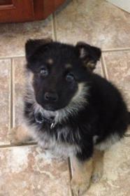 Puppy Agnes 3 weeks to 10 wks EARS!-7-weeks.jpg