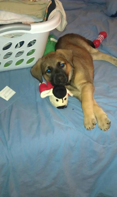 Callie Mae GSD/English Mastiff-7-weeks.jpg