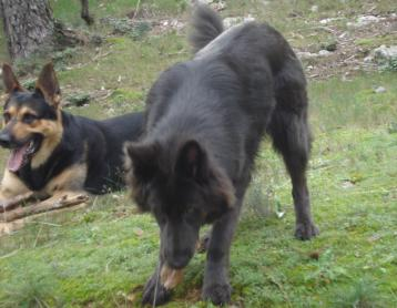 Sorry it took so long. Some updates of Enakai, our solid blue GSD.-8.jpg