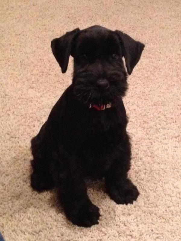 Giant schnauzer 6 weeks old