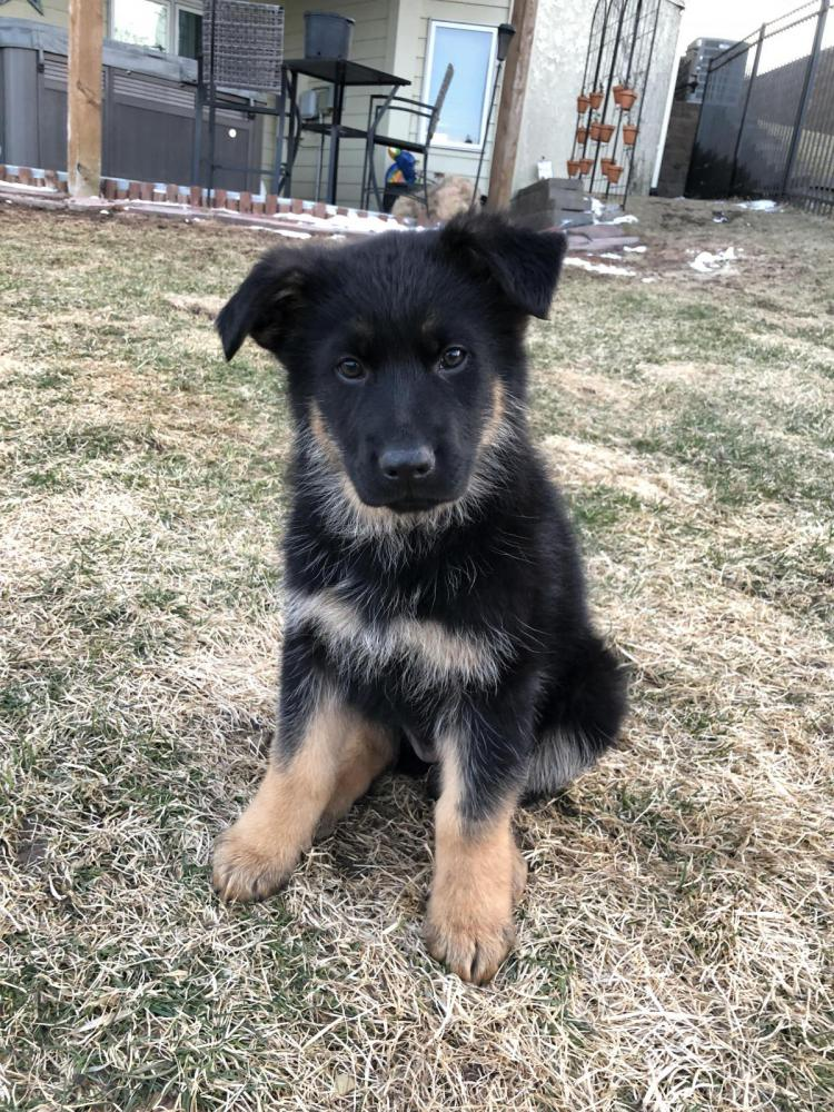 Puppy Coat Length German Shepherd Dog Forums