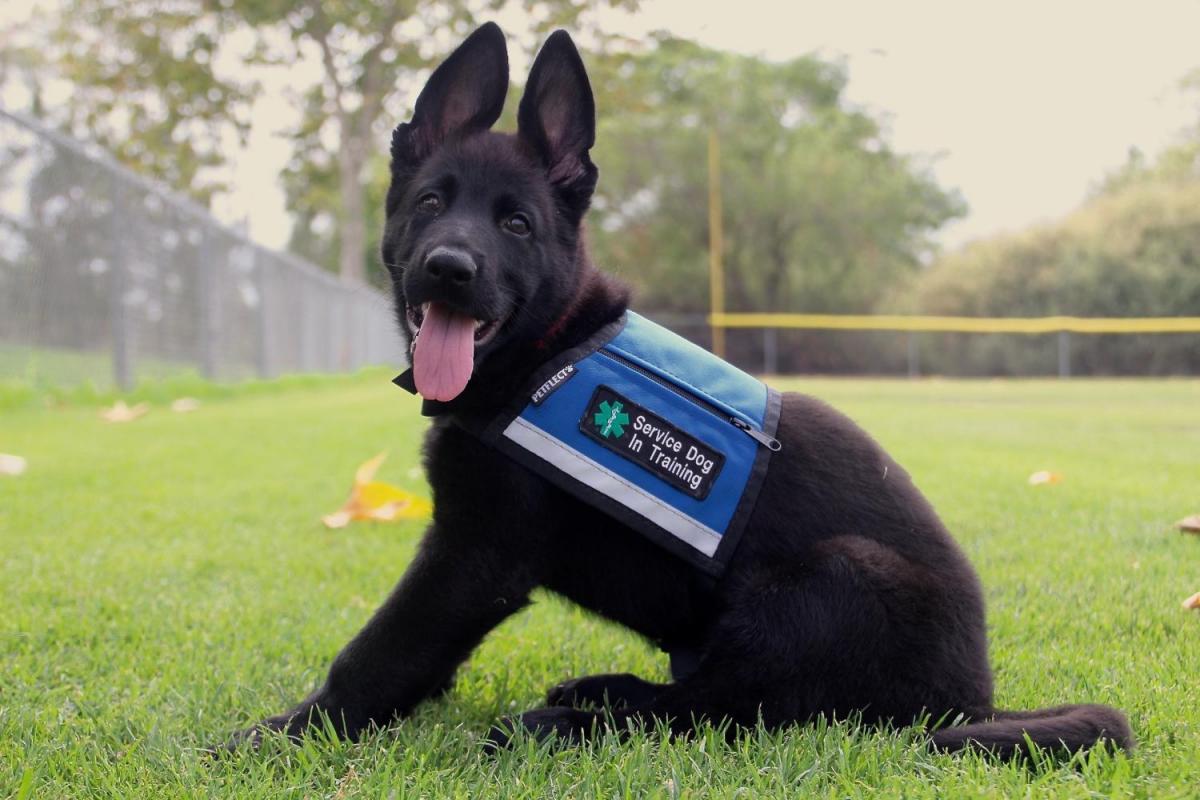Vasko's service dog training-95df5929-4f02-4ba4-87c2-fda3e073643b_1531787549806.jpg