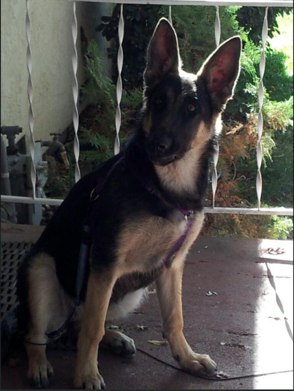 belgium german shepherd