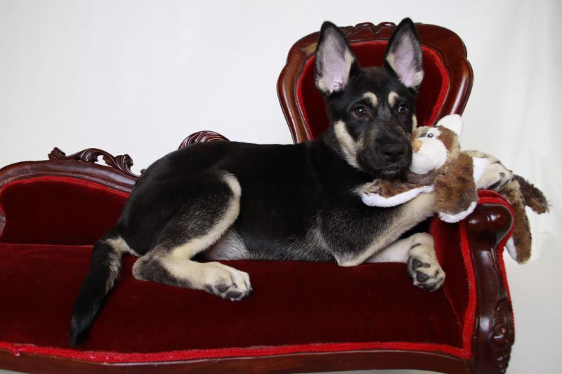 German Shepherd Wolf mix???-_mg_2058.jpg