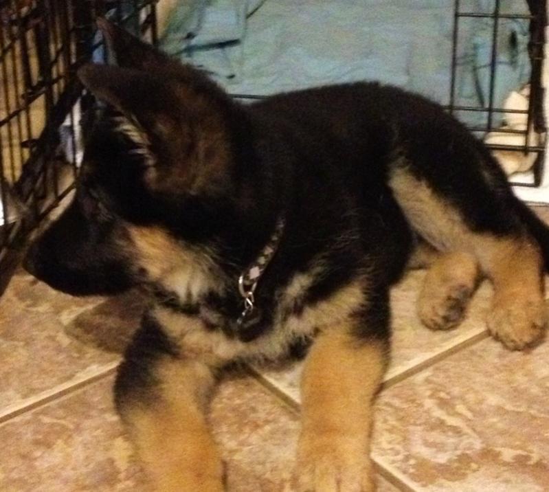 Puppy Agnes 3 weeks to 10 wks EARS!-agnes-10-weeks.jpg
